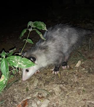 Opossumrelease2